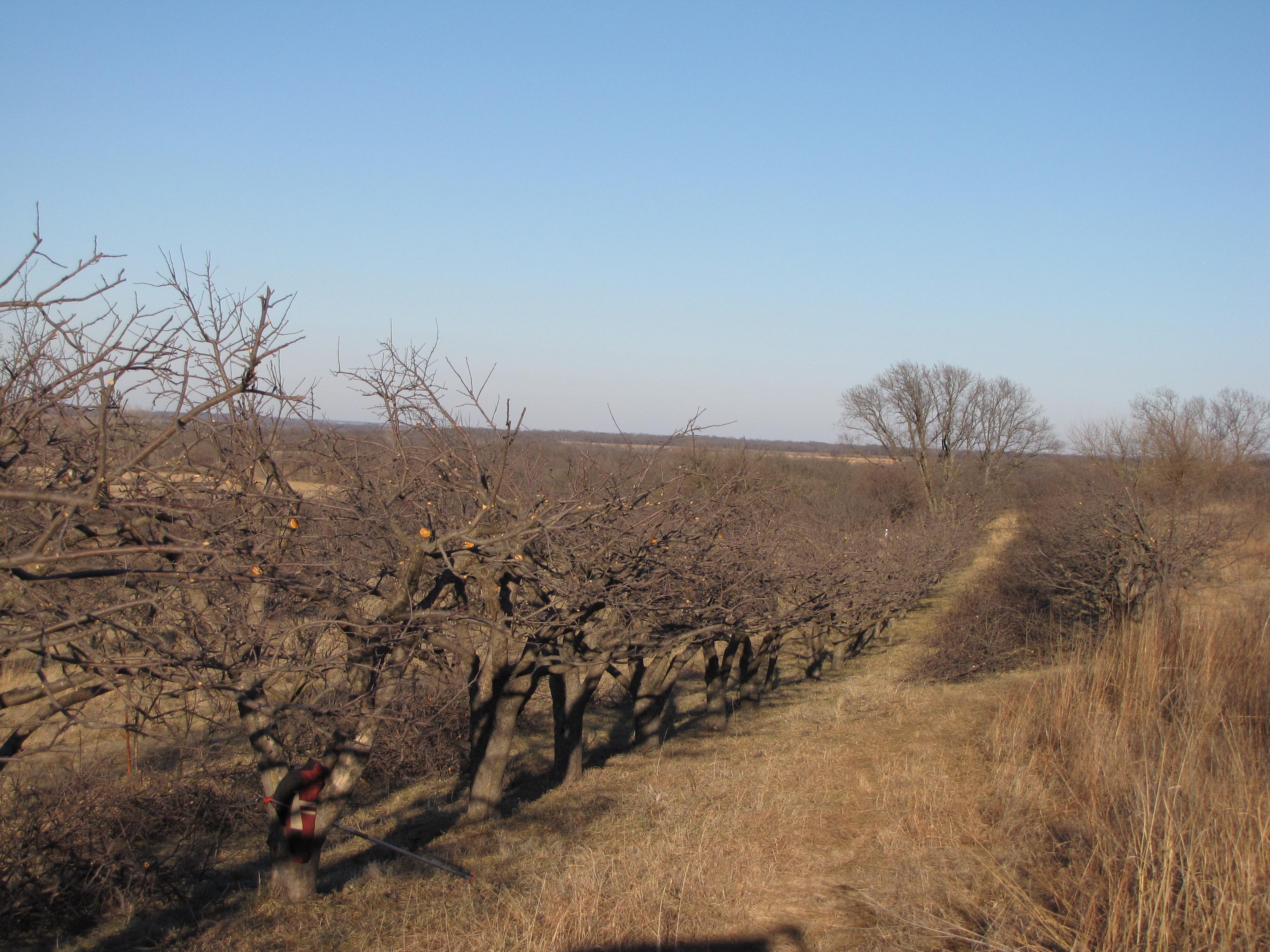 Prunned Apple Trees
