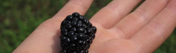 Blackberry Season Closes Today