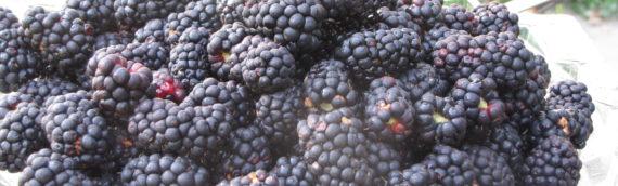 Blackberry Picking Is Open