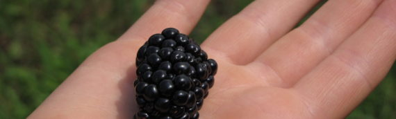 Blackberry Season Closes Today